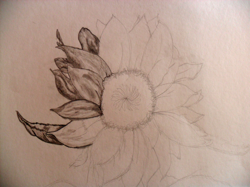 sunflower a work in progress