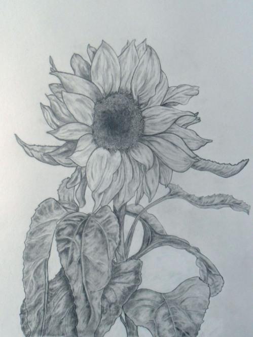 029 final sunflower_white shading