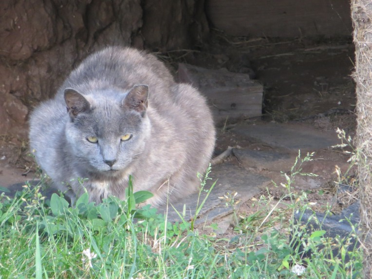 Feral Cat, Patterson farm, Yardley, PA