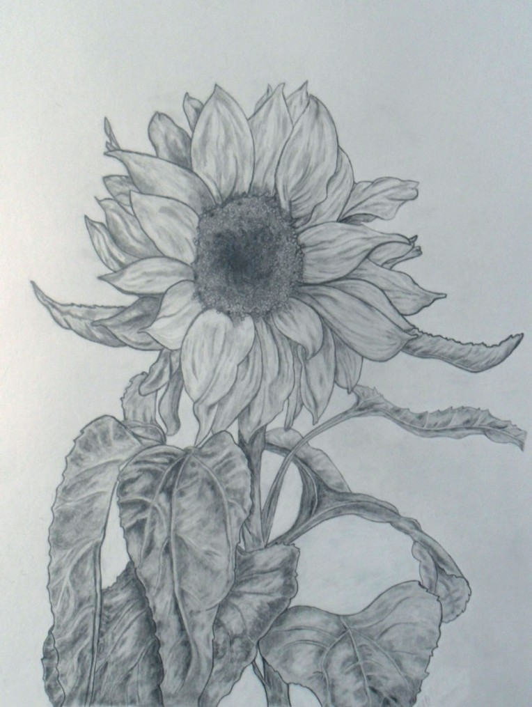 sunflower_first drawing in over 20 years