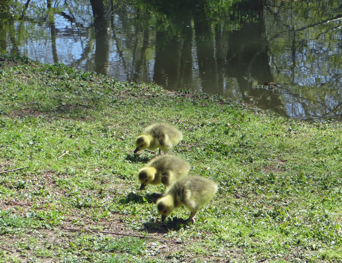 baby geese along the towpath