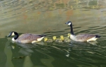 baby geese learning to swim in the Delaware Canal