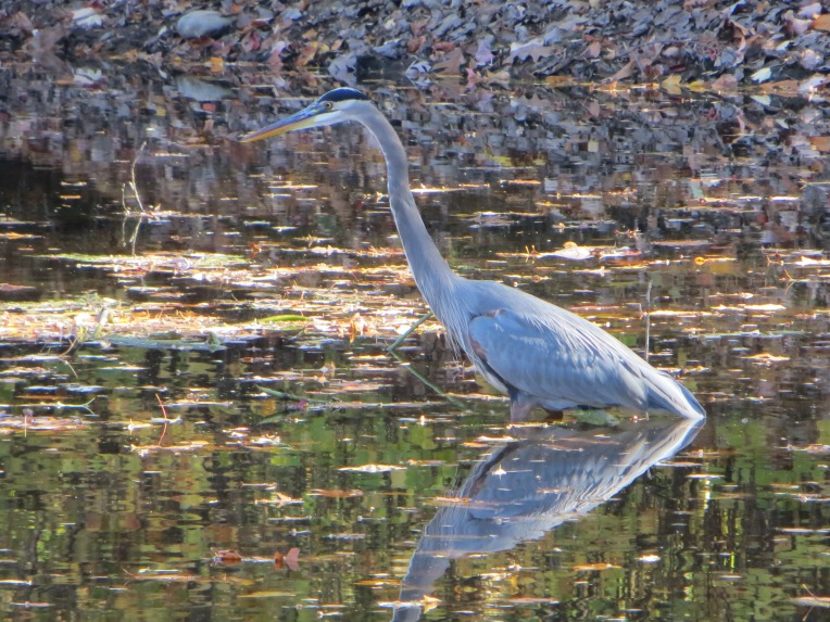 heron_towpath_10-26-2013