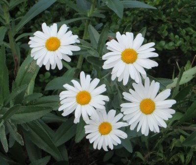 five daisies