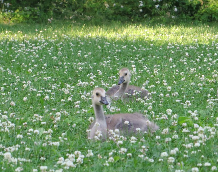 baby geese in the clover