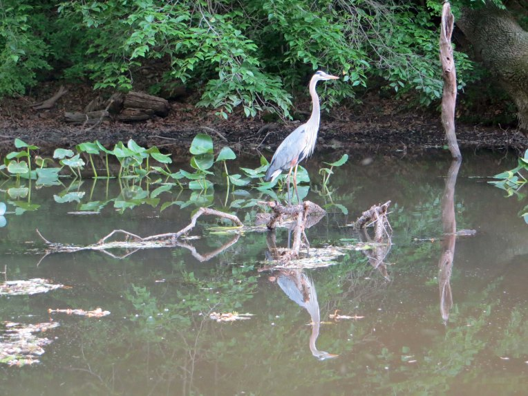 blue heron in the canal