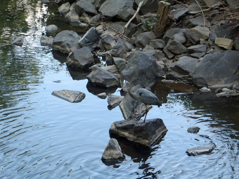 blue heron resting on a rock