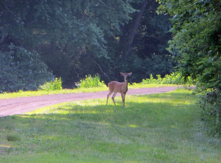 deer along the towpath