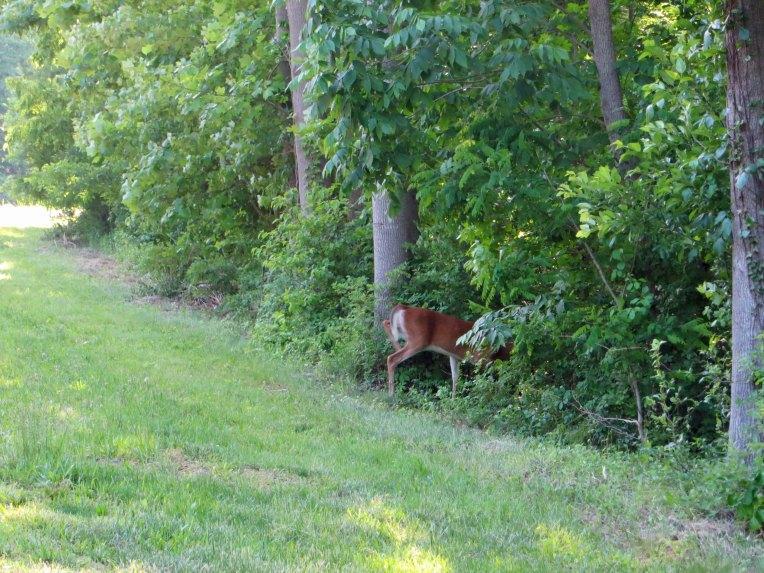 deer running into the woods