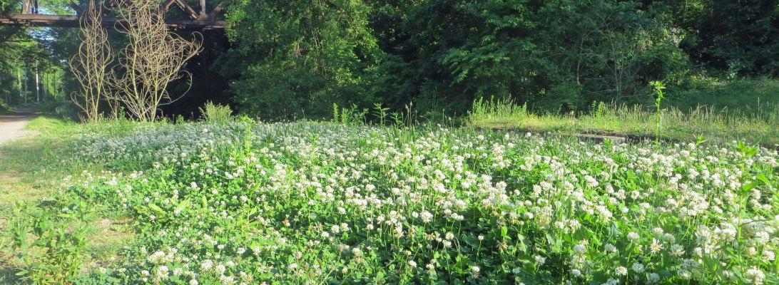 field of clovers blending into the trees and bridge