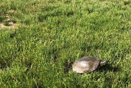 Lazurus the turtle